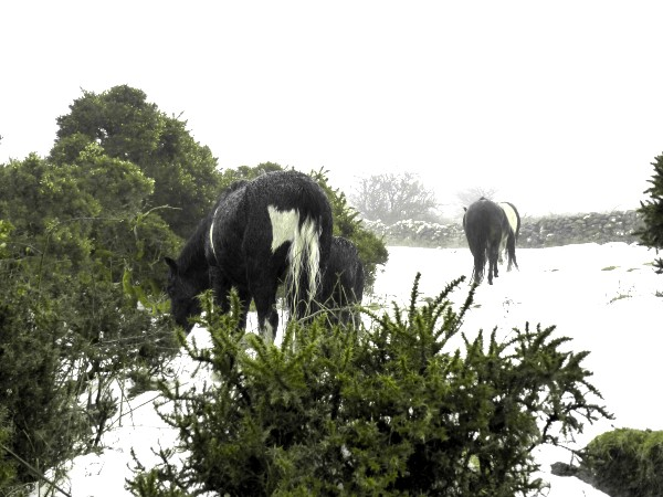 Horses in the snow on Dartmoor 2018